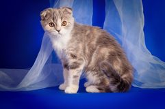 Scottish Fold Kitten Royalty Free Stock Photos