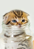 Scottish fold kitten. In a glass jar Stock Photo