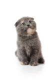 Scottish-fold kitten Royalty Free Stock Photo
