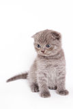 Scottish Fold Kitten. On white backgroun Royalty Free Stock Photo