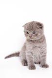 Scottish Fold Kitten. On white backgroun royalty free stock photo