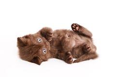Scottish Fold Kitten Royalty Free Stock Images