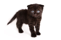 Scottish Fold Kitten. On white backgroun Stock Photo