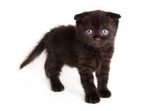 Scottish Fold Kitten. On white backgroun stock photo