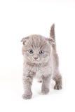 Scottish Fold Kitten. On white backgroun royalty free stock photos