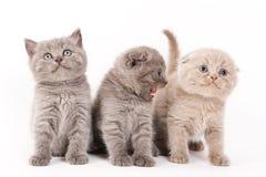 Scottish Fold Kitten. On white backgroun stock image