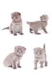 Scottish Fold Kitten. On white background Stock Images
