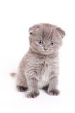 Scottish Fold Kitten. On white background stock image