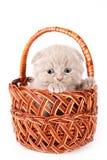 Scottish Fold Kitten. In basket on white background stock photos