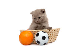 The Scottish Fold kitten Royalty Free Stock Images