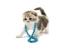 Scottish fold kitten Stock Images