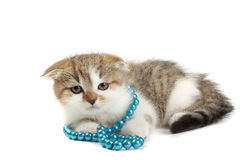 Scottish fold kitten. On white background Stock Image