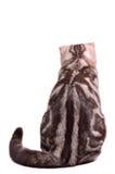 Scottish fold kitten back sitting Royalty Free Stock Image