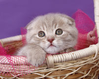Scottish Fold kitten in a basket. Royalty Free Stock Photography