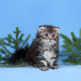 Scottish fold kitten. On blue background with fir tree Stock Image