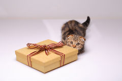 Scottish fold kitten with box Royalty Free Stock Photo