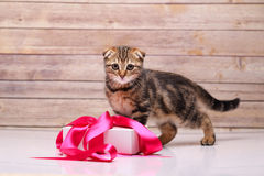 Scottish fold kitten with box Stock Photography