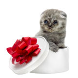 Scottish Fold kitten breed and white gift box Royalty Free Stock Photo