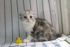 Scottish Fold kitten cat. Tabby and white Scottish Fold little cat royalty free stock photo