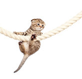 Scottish fold kitten climbing Stock Image