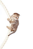 Scottish fold kitten climbing on rope royalty free stock photography