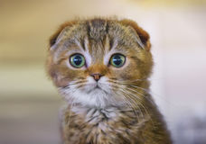 Scottish Fold. Scottish Fold kitten close-up Stock Photos