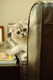 Scottish Fold kitten on couch. Scottish Fold kitten sitting on leather couch peaking from arm Stock Image