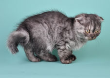 Scottish fold  kitten with crooked tail Royalty Free Stock Image