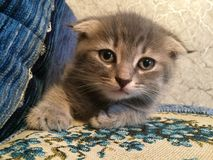 Scottish fold kitten. Cute Scottish fold kitten lies on the couch stock image