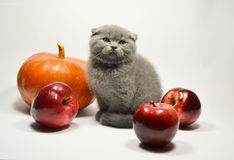 Scottish fold kitten with fruit Royalty Free Stock Photos