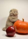 Scottish fold kitten with fruit Stock Photos