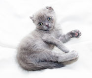 Scottish Fold kitten gray with green eyes lying Stock Photos