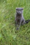 Scottish fold kitten on green meadow Royalty Free Stock Photo