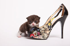 Scottish fold kitten. Kitten on a white background. Stock Photography