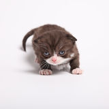 Scottish fold kitten. Kitten on a white background. Royalty Free Stock Photography