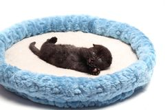 Scottish fold kitten. Kitten on a white background. Stock Image