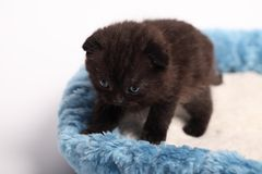 Scottish fold kitten. Kitten on a white background. Royalty Free Stock Image