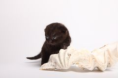 Scottish fold kitten. Kitten on a white background. Royalty Free Stock Images