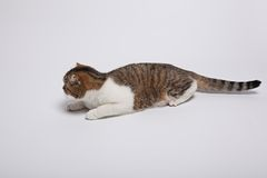 Scottish fold kitten. Kitten on a white background. Stock Photo