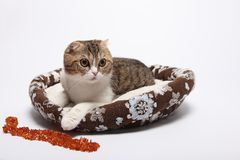 Scottish fold kitten. Kitten on a white background. Royalty Free Stock Photo