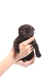 Scottish fold kitten. Kitten on a white background. Stock Photos
