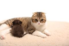 Scottish fold kitten. Kitten on a white background. Royalty Free Stock Photos