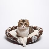 Scottish fold kitten. Kitten on a white background. Stock Images