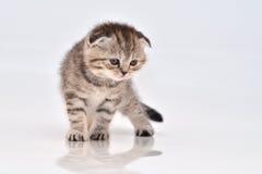Scottish fold  kitten Stock Photo