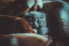Scottish fold kitten. Little scottish fold grey cat Stock Photo