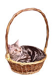 Scottish fold kitten lying in a basket isolated Stock Images