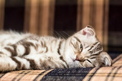 Scottish Fold kitten lying on the couch. Asleep, but woke up and funny squinted stock image