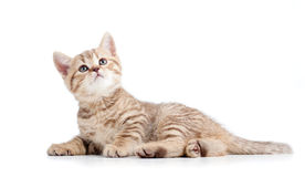 Scottish fold kitten lying on floor Royalty Free Stock Images