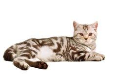 Scottish fold kitten lying on white background Stock Images