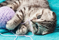 Scottish fold kitten playing with a ball of yarn Royalty Free Stock Images